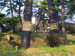 松並木の冬支度